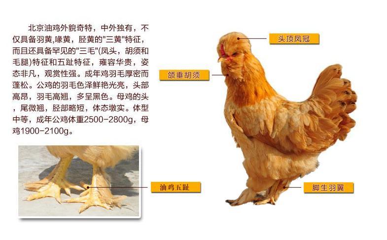 动物 鸡 785_487
